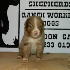 australian shepherd dog for sale aussie puppies for sale in ga australian shepherd litters