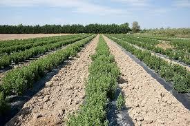 chambre agriculture herault un goût sucré bio et zéro calorie l hérault teste la stévia