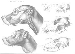 Dog Anatomy Front Leg 100 Best Anatomía Perro Dog Anatomy Images On Pinterest