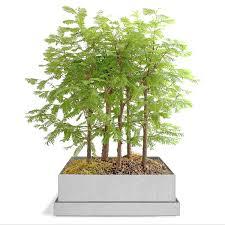 redwood bonsai forest bonsai supplies uncommongoods