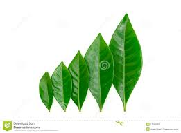 gardenia leaves stock images 299 photos