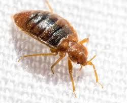 Bed Bug Com Bed Bug Solutions From Witt Pest Management