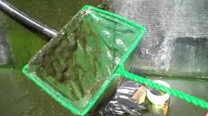 feeding plankton and zooplanton to tilapia and crawfish home