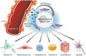Tissue Renewal Regeneration And Repair Frontiers The Perivascular Niche And Self Renewal Of Stem Cells