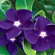 vinca flowers beautiful purple periwinkle vinca major flower 10 seeds