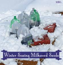 winter sowing milkweed seeds part 2 step by step guide winter