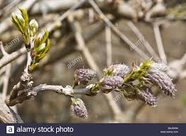 flower buds of wisteria stock photo royalty free image 23765697