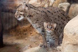 Denver Zoo Lights Coupons by Adorable Fishing Cat Born At Denver Zoo Our Community Now