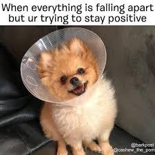 Pomeranian Meme - the top 100 dog memes of 2017 pro pooch