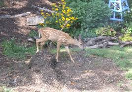 keeping deer out of the garden bonnie plants