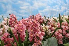 cymbidium orchid cymbidium orchids hgtv