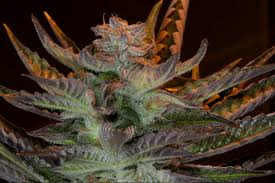 Weed Map Colorado by Where To Find Cannabis Seeds In Colorado Colorado Pot Guide