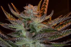 Colorado Marijuana Dispensary Map by Where To Find Cannabis Seeds In Colorado Colorado Pot Guide