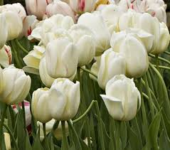 white tulips white flower farm ivory perennial tulip white flower farm