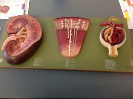 Lab Practical Anatomy And Physiology 94 Best Anatomy And Physiology 2 Pictures Images On Pinterest