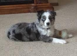 3 4 australian shepherd 1 4 blue heeler prairie hill morgans our australian shepherds