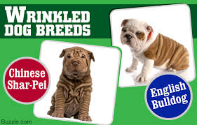Do English Bullmastiffs Shed by 10 Most Wrinkled And Adorable Dog Breeds