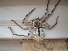 common usa spiders at spiderzrule the best site in the world