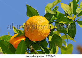 orange tree citrus aurantium with fruit and blossom northern