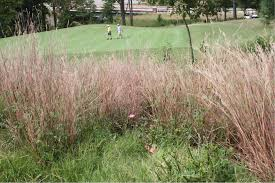 grasses as an alternative to turfgrasses in out of play