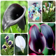 calla colors true calla bulbs 2pcs 24 colors calla flower bulbs potted