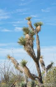 native arizona plants 72 best desert flora images on pinterest flora arizona cactus