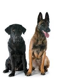 belgian shepherd x labrador purebred belgian sheepdog malinois and labrador retriever on a