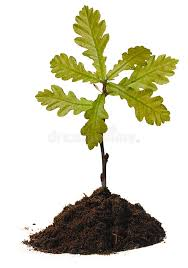 small oak tree stock image image of green dirt 14406807