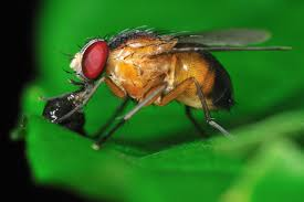 why use the fly in research facts yourgenome org