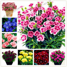 Sweet William Flowers Compare Prices On Sweet William Flowers Online Shopping Buy Low