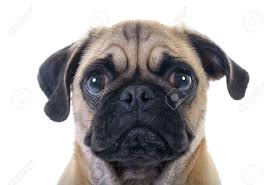 pug stock photos royalty free pug images and pictures
