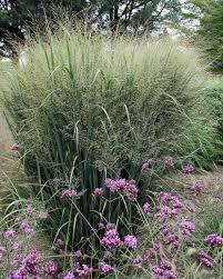 8 stunning ornamental grasses hgtv