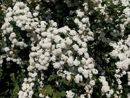 small white flowers green bush studded with small white flowers stock photo