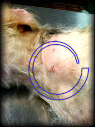 bichon frise golf head cover classic lymphoma diagnosis in a dog virtuavet