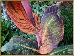 Canna Lilies Cannas U003d Canna Lily