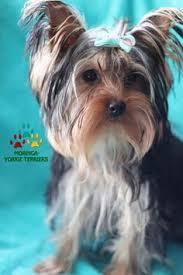 que grasioso yorkies pinterest yorkshire terrier yorkies