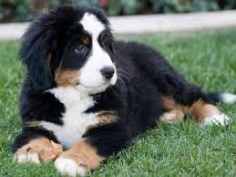 australian shepherd puppies for sale 34655 home dog training behavior u0026 obedience by bark busters