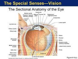 Anatomy Of The Eye Eye Anatomy Eyes Pinterest Eye Anatomy And Anatomy