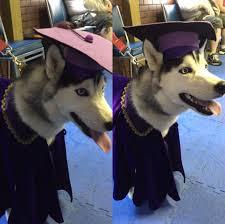dog graduation cap and gown husky diaries graduation archives husky diaries