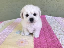 2 month old bichon frise cambeas puppies bichon frise puppies for sale
