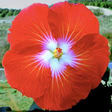Yellow Hibiscus Flowers - hidden valley hibiscus hibiscus pigments why do hibiscus