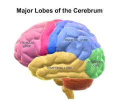 Anatomy Of The Brain And Functions Neonatal Brain Damage And Long Term Outcomes