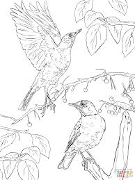 two american robins coloring page free printable coloring pages