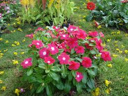 vinca flowers savamnari poov vinca flowers vinca flower type of flowe flickr