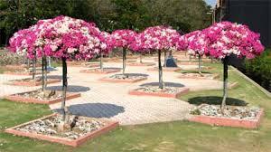 Bougainvillea Topiary - bougainvillea gardentia