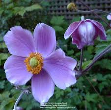 anemones plant care and collection of varieties garden org