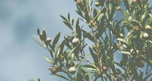 olive harvesters and shakers best deal on agrieuro