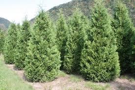 arborvitae american arrowhead nursery wholesale trees