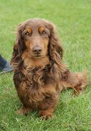 australian shepherd dachshund liver the b series