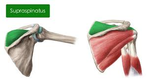Subscapularis And Supraspinatus Muscles Of The Upper Arm And Shoulder Blade Anatomy Kenhub